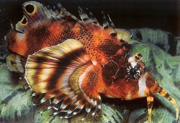 Twinspot lionfish.jpg