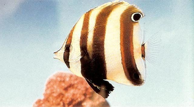 Twoeye coralfish.jpg