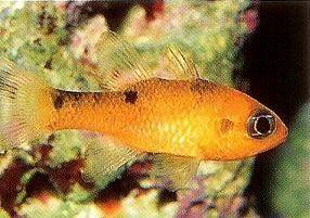 Twospot cardinalfish.jpg