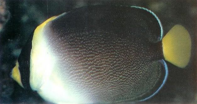 Vermiculated Angelfish.jpg
