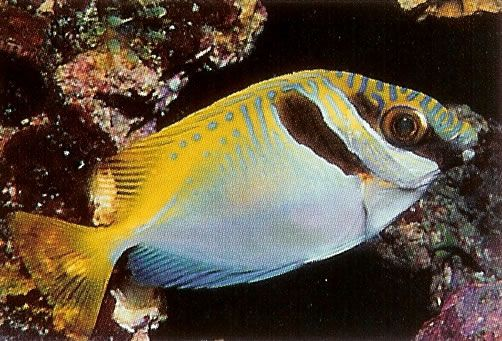Virgate Rabbitfish.jpg