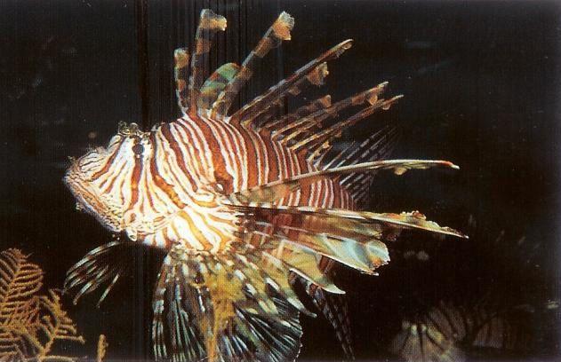 Volitans lionfish.jpg