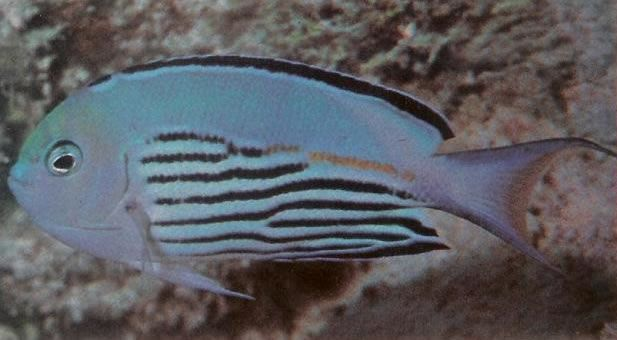 Watanabes Angelfish Male.jpg