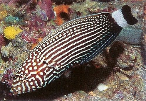 White dashed Wrasse.jpg
