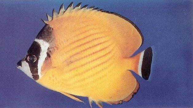 Wiebels butterflyfish.jpg