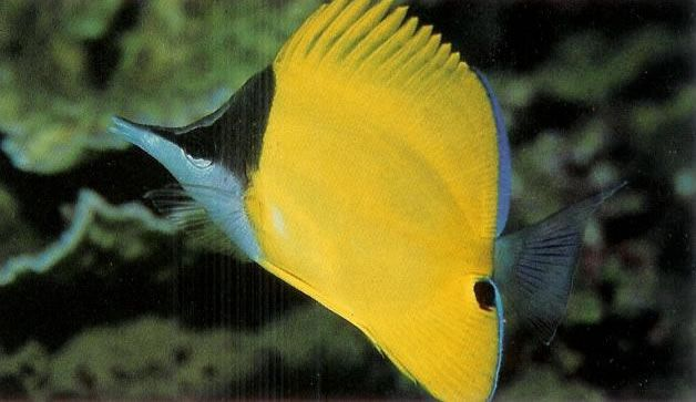 Yellow longnose butterflyfish.jpg