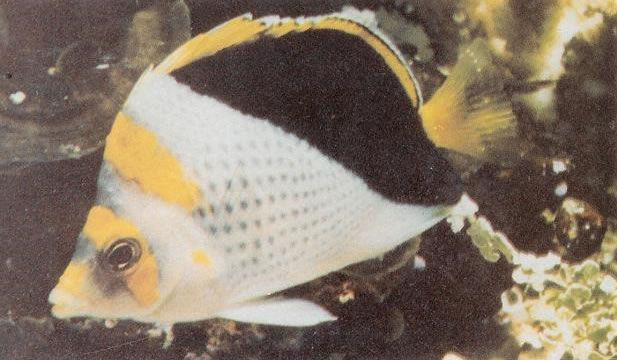 Yellowcrowned butterflyfish.jpg