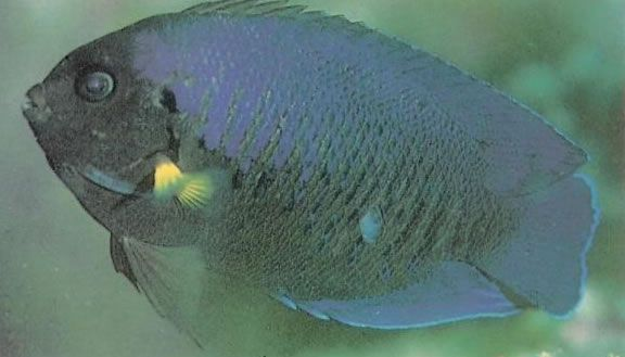 Yellowfin Angelfish.jpg