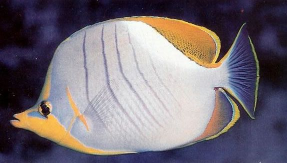Yellowhead butterflyfish.jpg