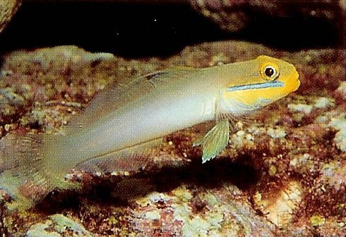 Yellowheaded sleeper goby.jpg