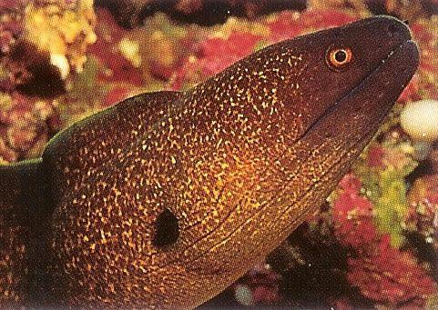 Yellowmargin moray.jpg