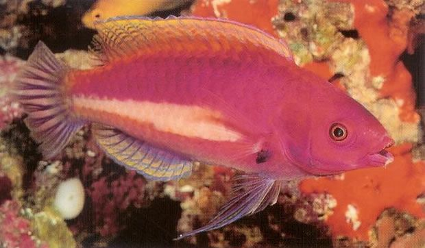 Yellowstreaked Fairy wrasse.jpg