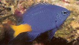Yellowtail Blue Damselfish.jpg