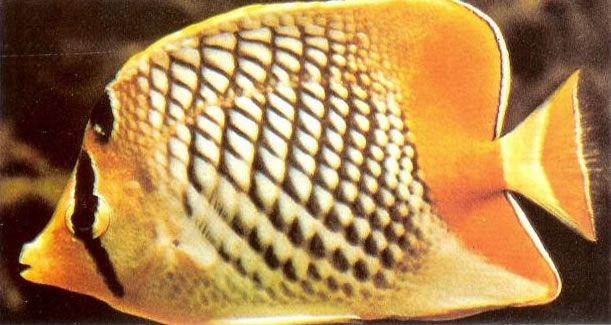 Yellowtail butterflyfish.jpg