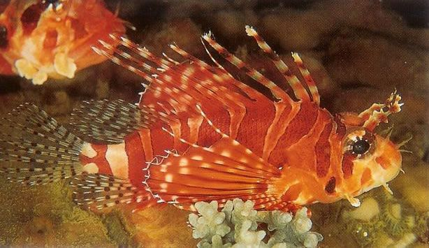 Zebra lionfish.jpg