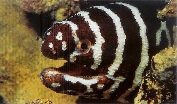 Zebra moray.jpg